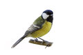Great Tit Royalty Free Stock Photo - 46541065