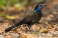 Common Grackle Royalty Free Stock Photos - 46546198