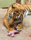 Hungry Tiger Is Eating Meat Stock Image - 46551681