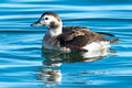 Long-tailed Duck Royalty Free Stock Image - 46578476