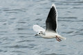 Little Gull Royalty Free Stock Photo - 46583085