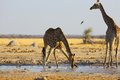 Giraffe Drinking Water At The Waterhole Royalty Free Stock Photo - 46594845