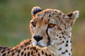 Cheetah Portrait Stock Image - 46609671
