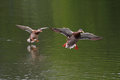 Ducks Flying Above The Surface Of The Water Royalty Free Stock Photography - 46613117