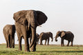African Elephant In Chobe National Park Stock Photography - 46621212