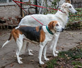 Hunting Dogs On A Leash Svorka  - Russian Borzoi And Russian Piebald Hound Royalty Free Stock Images - 46643429