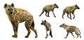 Set Of  Hyenas. Isolated  Over White Background Royalty Free Stock Image - 46665936