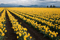 Daffodil Field Stock Photography - 46666142