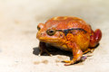 Tomato Frog Royalty Free Stock Photography - 46698947