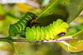 Caterpillars Of The Comet Moth Royalty Free Stock Photography - 46698957