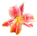 Pink Tiger Lily Flower Close Up Isolated Stock Image - 46708661