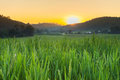 Green Paddy Rice Fields Of Agriculture Stock Photo - 46714490