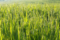 Paddy Rice Fields Of Agriculture Cultivation Royalty Free Stock Images - 46714649