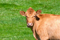 Cow On A Summer Pasture Stock Image - 46726471