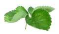 Strawberry Leaf Stock Images - 46730564
