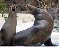 Sea Lion Operetta Stock Image - 46735711