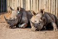 Two Rhinos Caged Stock Photography - 46756642