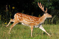 Spotted Deer. Stock Photography - 46797702