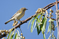 Yellow-Rumped Warbler And A Feast Of Berries Royalty Free Stock Photo - 46809135