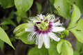 Passion Flower Royalty Free Stock Photography - 46854097