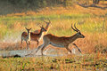 Red Lechwe Antelopes Royalty Free Stock Images - 46859449