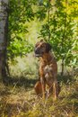 Rhodesian Ridgeback Dog Royalty Free Stock Image - 46863866
