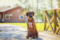 Rhodesian Ridgeback Dog Royalty Free Stock Photo - 46863975