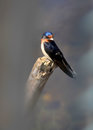 Tree Swallow Bird Royalty Free Stock Images - 46876699
