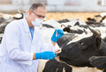 Veterinarian At  Farm Cattle Stock Photo - 46876920