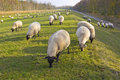 Flock Of Sheeps On Dyke Stock Images - 46881974
