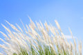 Swhite Feather Grass In Wind With Sky Background Stock Photo - 46888690