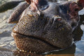 Closed Mouth Of A Hippo Royalty Free Stock Photo - 46892815