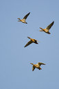 Four Ducks Flying In A Blue Sky Stock Image - 46897021