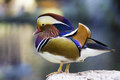 Mandarin Duck Stock Image - 46897261