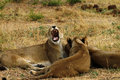 African Lionesses One Of The Big Five Stock Photography - 46901992