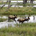 African Wild Dog Pack In Action Royalty Free Stock Photography - 46930777