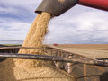 Harvest Soybean Royalty Free Stock Images - 46954699