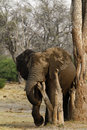 African Elephant Stock Photography - 46964642