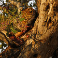 African Leopard High In A Tree Stock Image - 46965091