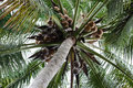 Coconut Tree Royalty Free Stock Images - 46978919