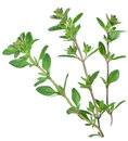 Green Fresh Thyme. Stock Photography - 46988452