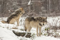 Pair Of Timber Wolves In A Winter Environment Royalty Free Stock Images - 46994779