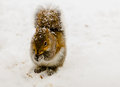 Squirrel In Snowstorm. Stock Image - 46999621