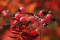 Autumn Leaves And Berries Stock Photo - 4704130