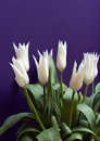 White Tulips Royalty Free Stock Photography - 4704507