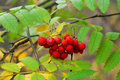 Autumn Leaves And Berries Stock Photo - 4705840