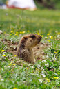 Marmot Royalty Free Stock Photography - 4707107