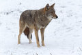 Lone Coyote In A Winter Landscape Royalty Free Stock Photos - 47001818