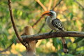 Yellow-billed Hornbill Royalty Free Stock Photos - 47031178
