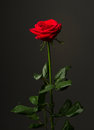 One Red Rose On Black Background Royalty Free Stock Photo - 47040665